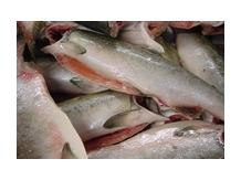 лосось  камчатский  край